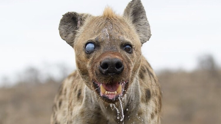 How I Secretly Taped the Office Hyena